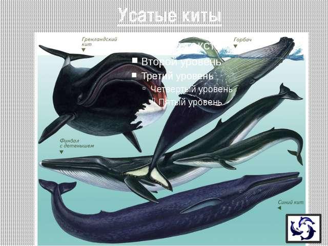 - Синий кит - достигает 33 м, массы 150 тонн (25 слонов, или 150 быков) - Мас...