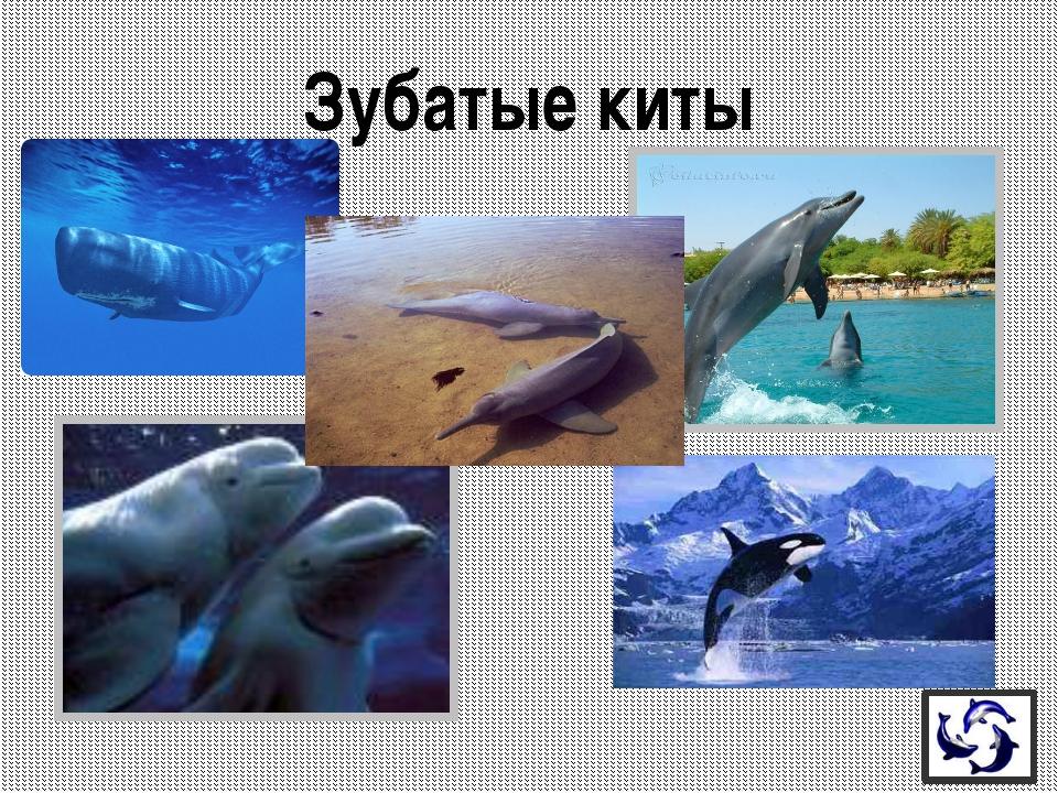 Это самый большой из речных дельфинов. Жители считают этих дельфинов священн...