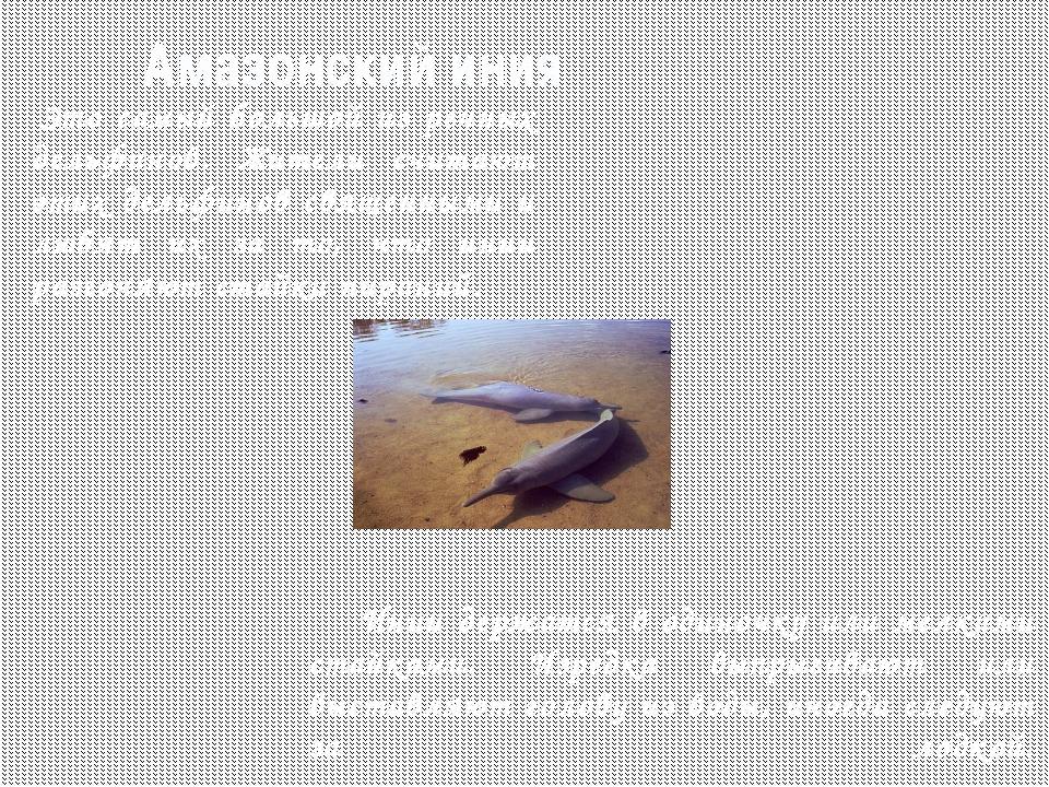 Касатки это крупный плотоядный дельфин. Длина достигает 10 метров, вес 8 тонн...