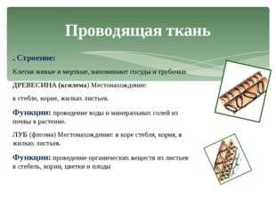 . Строение: Клетки живые и мертвые, напоминают сосуды и трубочки. ДРЕВЕСИНА (