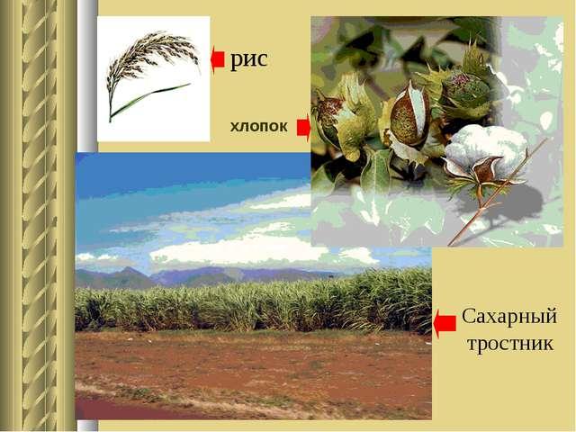 рис хлопок Сахарный тростник