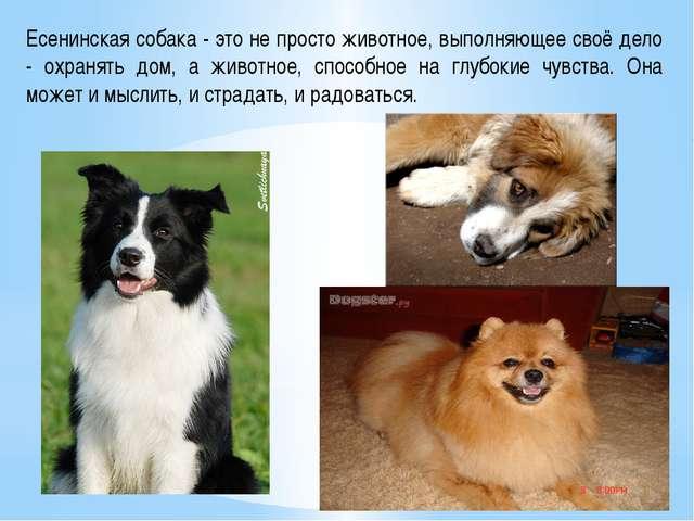 Есенинская собака - это не просто животное, выполняющее своё дело - охранять...