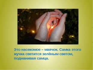 Это насекомое – маячок. Самка этого жучка светится зелёным светом, подманивая