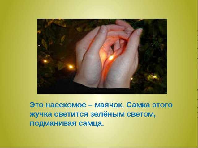 Это насекомое – маячок. Самка этого жучка светится зелёным светом, подманивая...