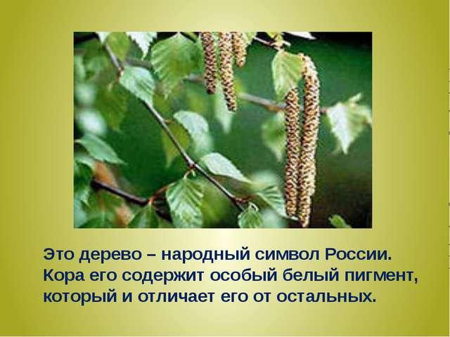 Это дерево – народный символ России. Кора его содержит особый белый пигмент,...