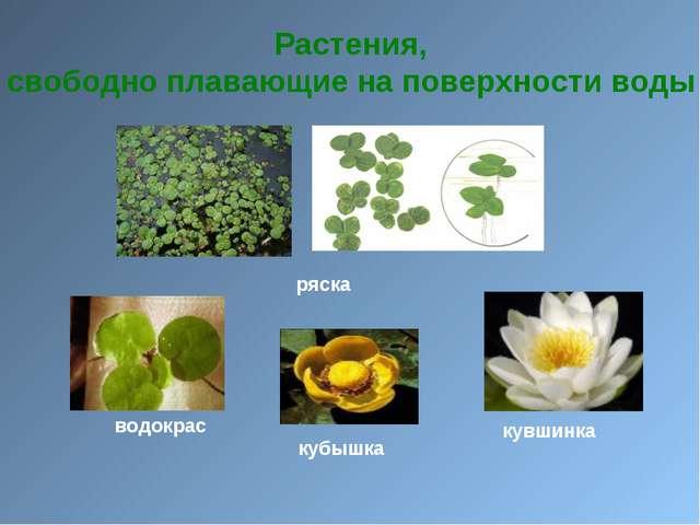 Растения, свободно плавающие на поверхности воды ряска водокрас кубышка кувш...