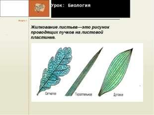 Урок: Биология Жилкование листьев—это рисунок проводящих пучков на листовой