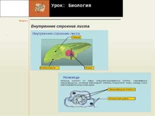 Урок: Биология Внутреннее строение листа  .     . Модуль 2 Название стр