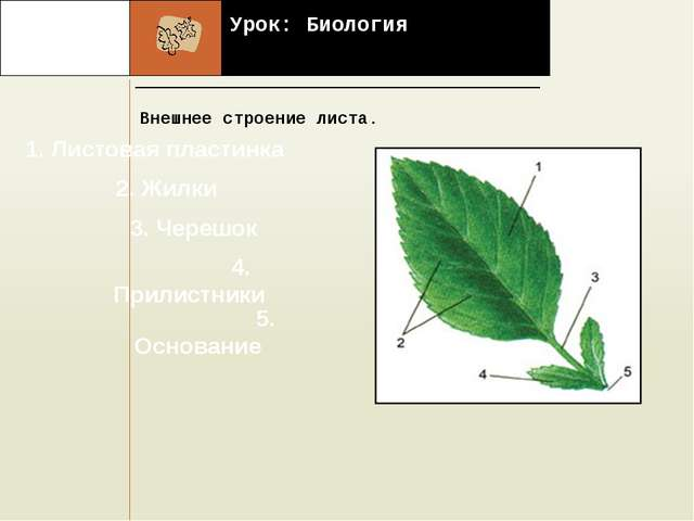 Урок: Биология Внешнее строение листа. . 1. Листовая пластинка 2. Жилки 3. Ч...