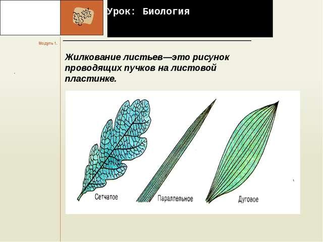 Урок: Биология Жилкование листьев—это рисунок проводящих пучков на листовой...
