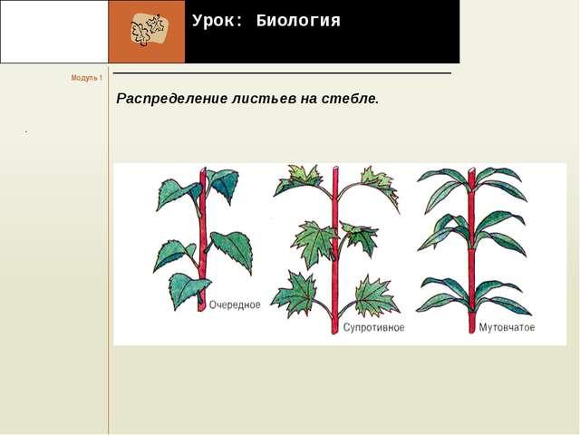 Урок: Биология Распределение листьев на стебле.     . Модуль 1 Название...