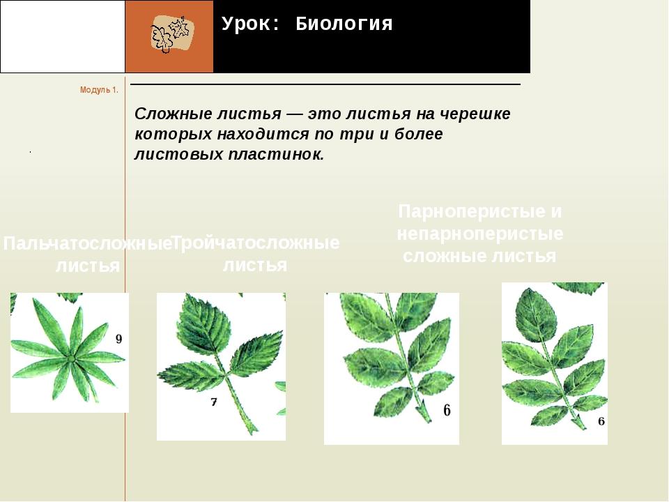 Урок: Биология Сложные листья — это листья на черешке которых находится по т...