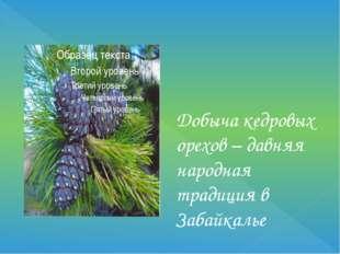Добыча кедровых орехов – давняя народная традиция в Забайкалье