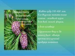 Живёт кедр 350-400 лет. Его вкусные питательные семена - основной корм для в