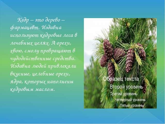 Кедр – это дерево – фармацевт. Издавна используют кедровые леса в лечебных ц...
