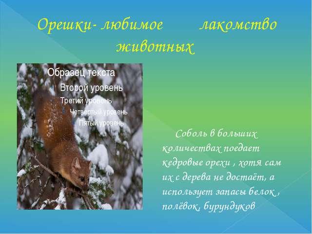 Орешки- любимое лакомство животных Соболь в больших количествах поедает кедро...