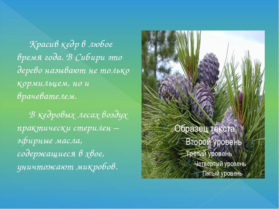Красив кедр в любое время года. В Сибири это дерево называют не только корми...