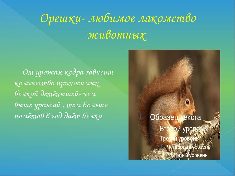 Орешки- любимое лакомство животных От урожая кедра зависит количество приноси...
