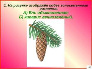 1. На рисунке изображён побег голосеменного растения: А) Ель обыкновенная; Б