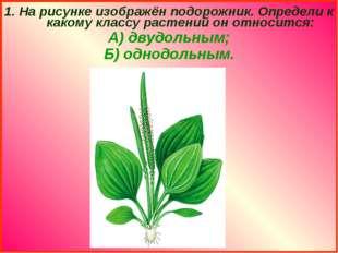 1. На рисунке изображён подорожник. Определи к какому классу растений он отно
