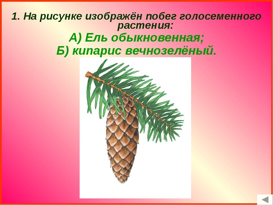 1. На рисунке изображён побег голосеменного растения: А) Ель обыкновенная; Б...