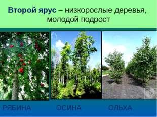 ВТОРОЙ ЯРУС РЯБИНА ОСИНА ОЛЬХА Второй ярус – низкорослые деревья, молодой под