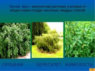 Третий ярус - многолетние растения, у которых от общего корня отходит несколь