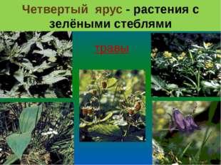 Четвертый ярус - растения с зелёными стеблями травы