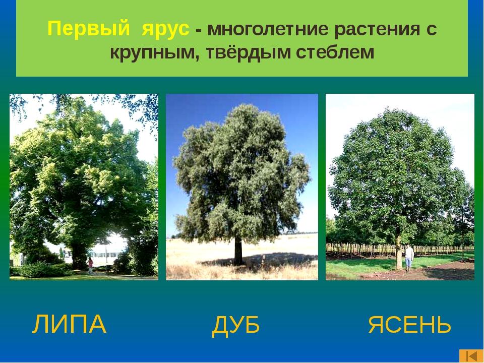 ЛИПА ДУБ ЯСЕНЬ Первый ярус - многолетние растения с крупным, твёрдым стеблем