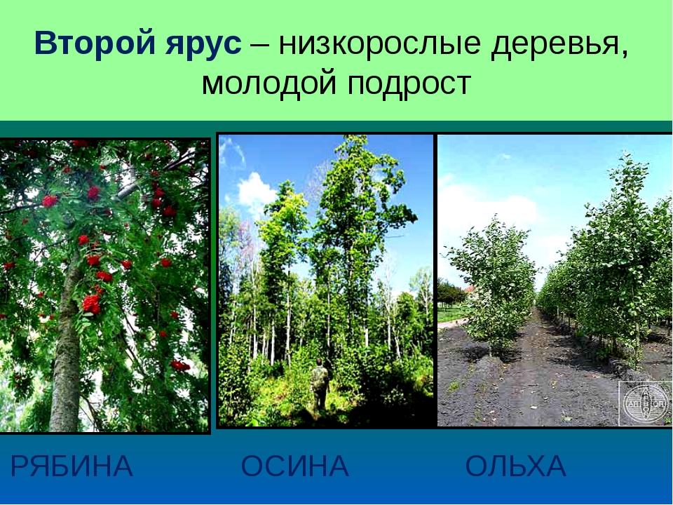 ВТОРОЙ ЯРУС РЯБИНА ОСИНА ОЛЬХА Второй ярус – низкорослые деревья, молодой под...