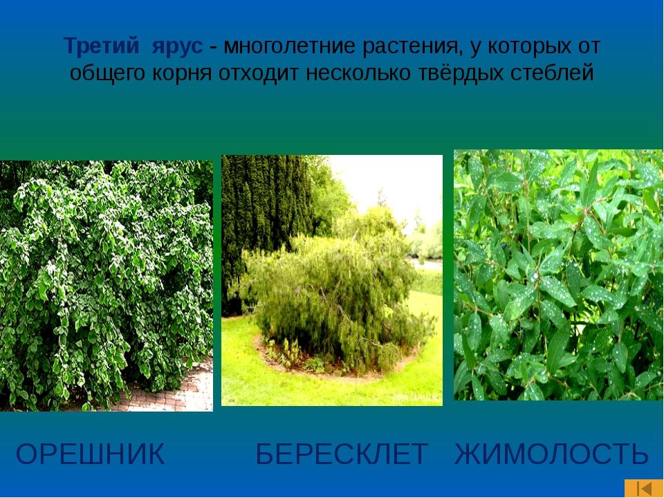 Третий ярус - многолетние растения, у которых от общего корня отходит несколь...