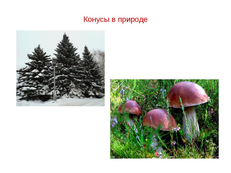 Конусы в природе