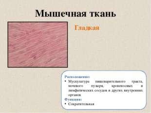 Гладкая Мышечная ткань Расположение: Мускулатура пищеварительного тракта, моч