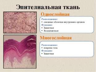 Эпителиальная ткань Однослойная Многослойная Расположение: смежные оболочки в
