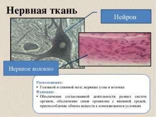 Нервная ткань Расположение: Головной и спинной мозг, нервные узлы и волокна Ф