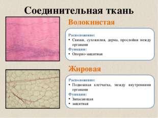 Соединительная ткань Волокнистая Жировая Расположение: Связки, сухожилия, дер