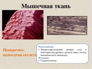 Мышечная ткань Поперечно-полосатая скелетная Расположение: Опорно-двигательны