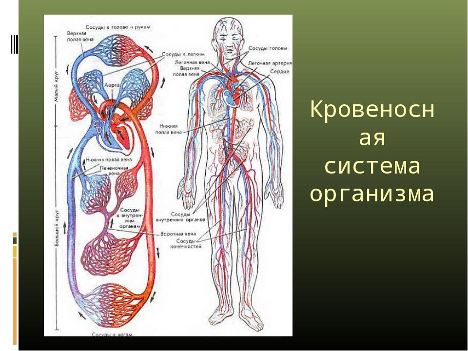 Кровеносная система организма