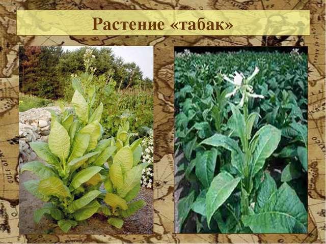 Растение «табак»