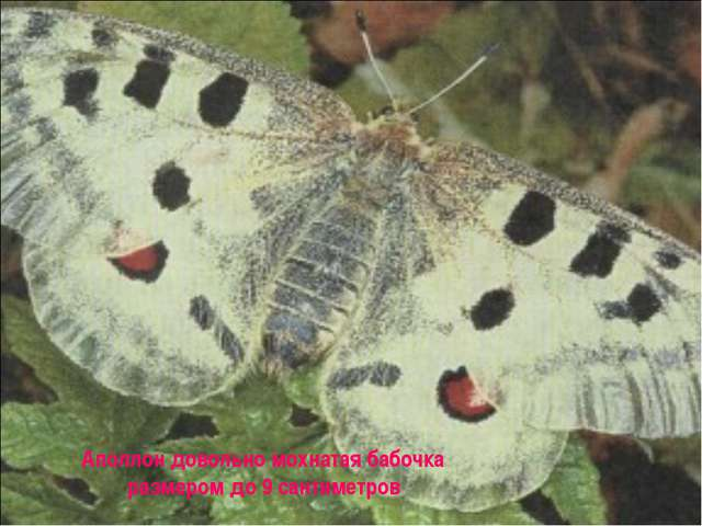 Аполлон довольно мохнатая бабочка размером до 9 сантиметров