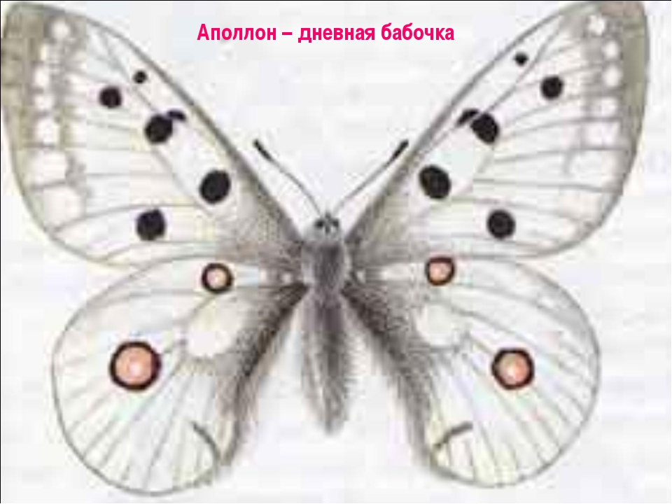 Аполлон – дневная бабочка