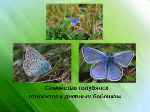 Семейство голубянок относится к дневным бабочкам