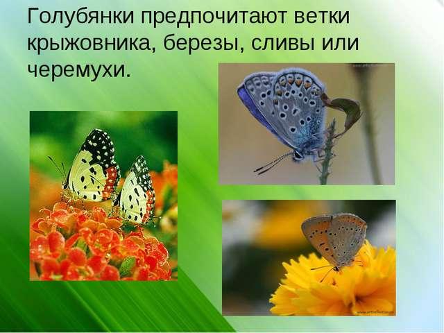 Голубянки предпочитают ветки крыжовника, березы, сливы или черемухи.