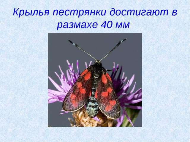 Крылья пестрянки достигают в размахе 40 мм