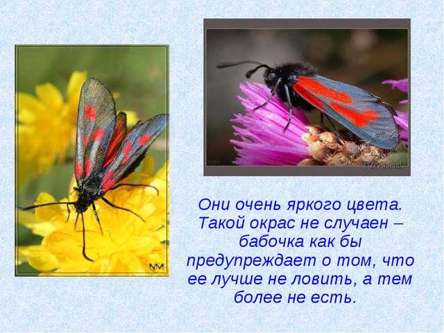 Они очень яркого цвета. Такой окрас не случаен – бабочка как бы предупреждае...