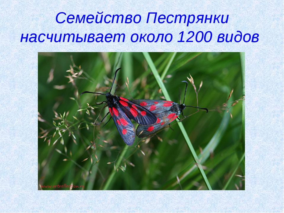 Семейство Пестрянки насчитывает около 1200 видов