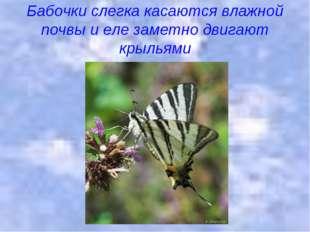 Бабочки слегка касаются влажной почвы и еле заметно двигают крыльями