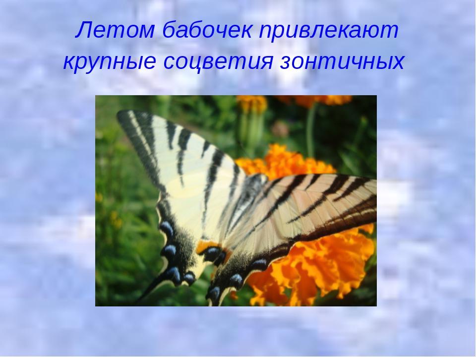 Летом бабочек привлекают крупные соцветия зонтичных
