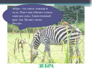 ЗЕБРА Зебра - это смесь лошади и осла. Пьют они обычно только один раз день.
