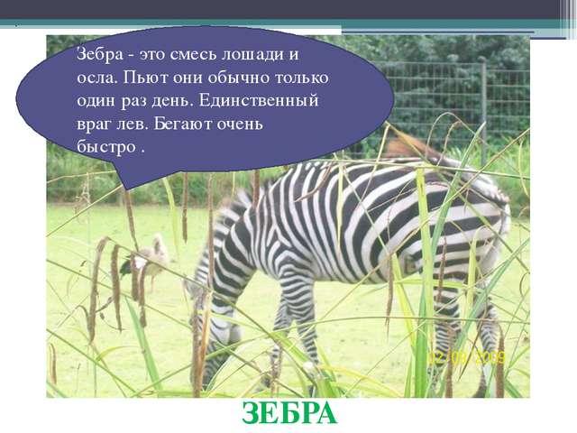 ЗЕБРА Зебра - это смесь лошади и осла. Пьют они обычно только один раз день....